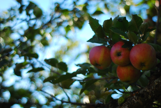 Apples at Merridale Cidery