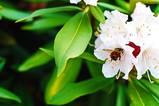 Bee in a Rhododendron