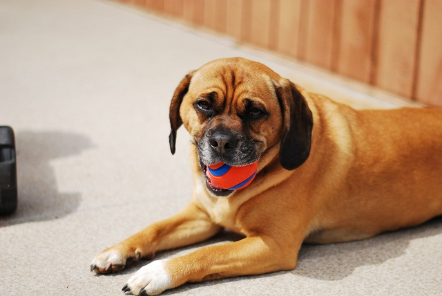 Puggle with Ball