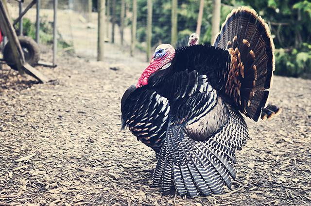 turkey_shawdow_farm1-2