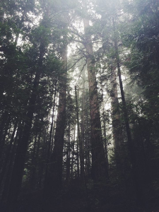 Cedars in the Mist-2