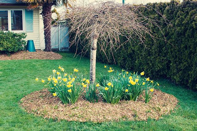 daffodil-garden1-2
