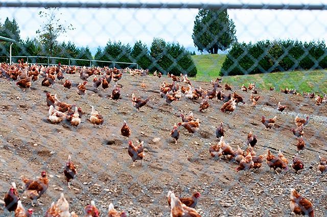 chicken-free-range9